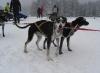 schlittenhunde-neuhaus-2010